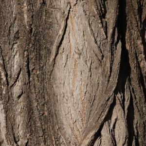 Photographie n°61338 du taxon Robinia pseudoacacia L.
