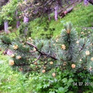 Photographie n°61441 du taxon Pinus mugo subsp. uncinata (Ramond ex DC.) Domin [1936]