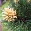 Alain Bigou - Pinus mugo subsp. uncinata (Ramond ex DC.) Domin