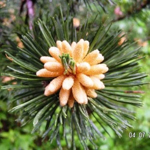 Pinus mugo subsp. uncinata (Ramond ex DC.) Domin (Pin à crochets)