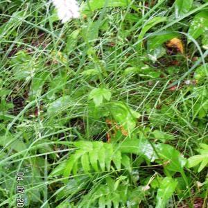 Photographie n°61444 du taxon Polygonum bistorta L.