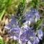Catherine MAHYEUX - Veronica austriaca subsp. teucrium (L.) D.A.Webb [1972]