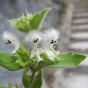 Acanthoprasium frutescens (L.) Spenn. (Ballote buissonnante)
