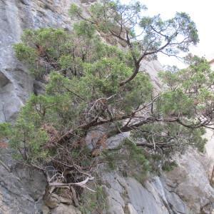 Photographie n°61654 du taxon Juniperus phoenicea L. [1753]
