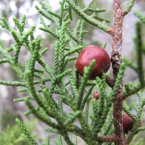 Photographie n°61655 du taxon Juniperus phoenicea L. [1753]