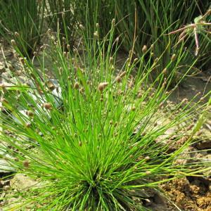 Eleocharis ovata (Roth) Roem. & Schult. (Scirpe à inflorescence ovoïde)