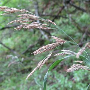 - Calamagrostis purpurea (Trin.) Trin. [1824]
