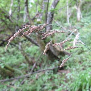 Photographie n°61722 du taxon Calamagrostis purpurea (Trin.) Trin. [1824]