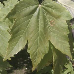 Photographie n°61823 du taxon Acer pseudoplatanus L.