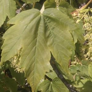 Photographie n°61824 du taxon Acer pseudoplatanus L.