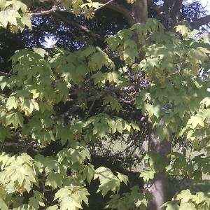Photographie n°61825 du taxon Acer pseudoplatanus L.