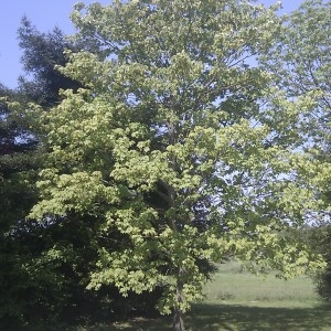 Photographie n°61826 du taxon Acer pseudoplatanus L.