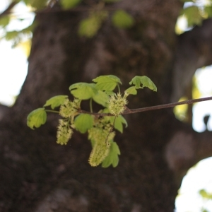 Photographie n°61833 du taxon Acer pseudoplatanus L.