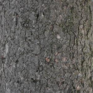 Photographie n°61834 du taxon Acer pseudoplatanus L.