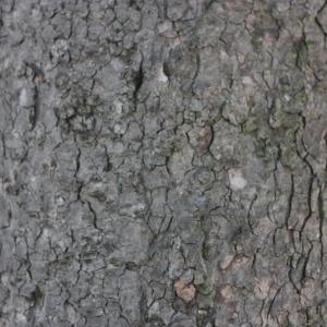 Photographie n°61836 du taxon Acer pseudoplatanus L.