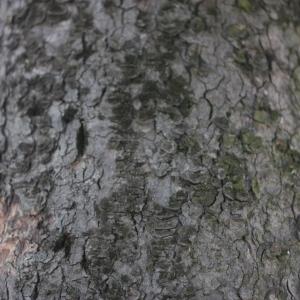 Photographie n°61840 du taxon Acer pseudoplatanus L.