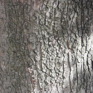 Photographie n°61842 du taxon Acer pseudoplatanus L.
