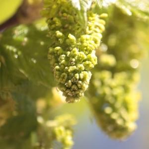 Photographie n°61845 du taxon Acer pseudoplatanus L.