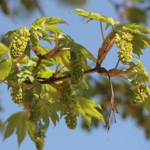 Photographie n°61846 du taxon Acer pseudoplatanus L.