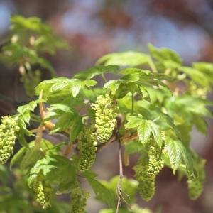 Photographie n°61849 du taxon Acer pseudoplatanus L.