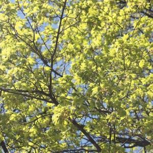 Photographie n°61851 du taxon Acer pseudoplatanus L.