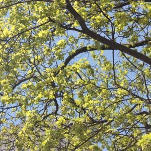 Photographie n°61852 du taxon Acer pseudoplatanus L.