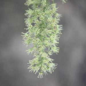 Photographie n°61856 du taxon Acer pseudoplatanus L.