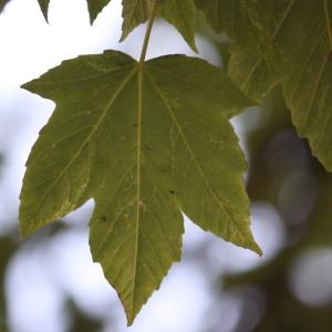 Photographie n°61859 du taxon Acer pseudoplatanus L.