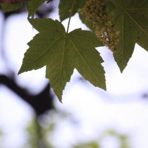 Photographie n°61860 du taxon Acer pseudoplatanus L.