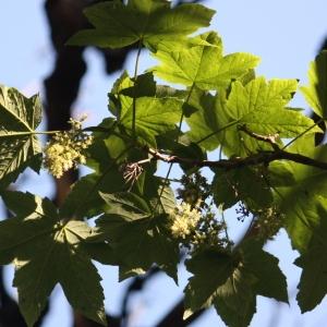 Photographie n°61861 du taxon Acer pseudoplatanus L.
