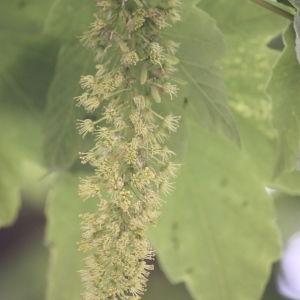 Photographie n°61862 du taxon Acer pseudoplatanus L.
