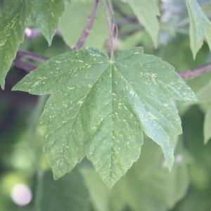 Photographie n°61863 du taxon Acer pseudoplatanus L.