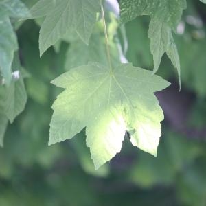 Photographie n°61864 du taxon Acer pseudoplatanus L.