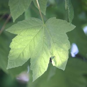 Photographie n°61865 du taxon Acer pseudoplatanus L.