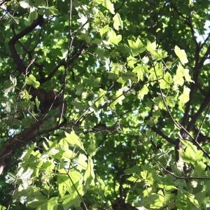 Photographie n°61869 du taxon Acer pseudoplatanus L.