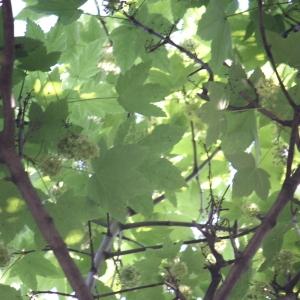 Photographie n°61870 du taxon Acer pseudoplatanus L.