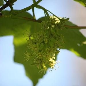 Photographie n°61871 du taxon Acer pseudoplatanus L.