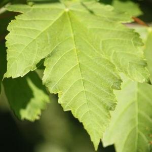 Photographie n°61872 du taxon Acer pseudoplatanus L.