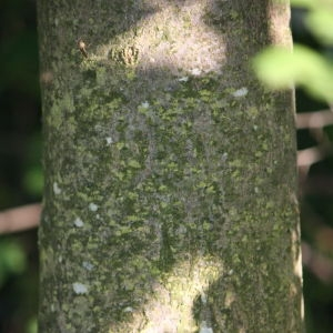 Photographie n°61874 du taxon Acer pseudoplatanus L.