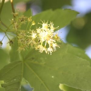 Photographie n°61877 du taxon Acer pseudoplatanus L.