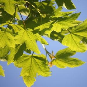 Photographie n°61878 du taxon Acer pseudoplatanus L.