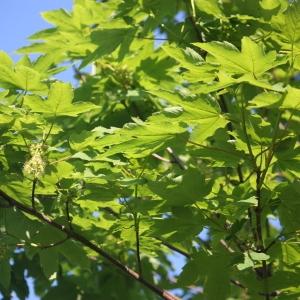 Photographie n°61879 du taxon Acer pseudoplatanus L.