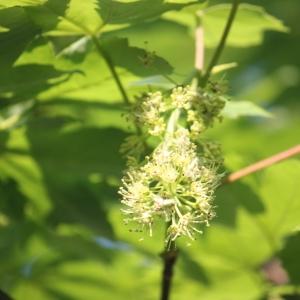 Photographie n°61880 du taxon Acer pseudoplatanus L.