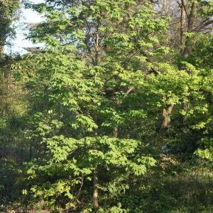 Photographie n°61881 du taxon Acer pseudoplatanus L.