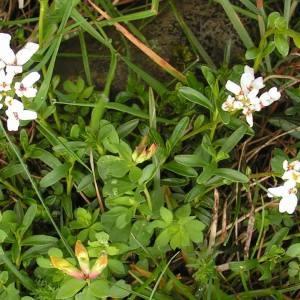 Photographie n°61943 du taxon Iberis sempervirens L.