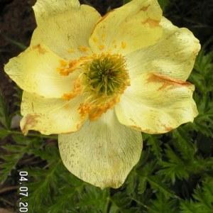 Photographie n°61955 du taxon Anemone alpina L.