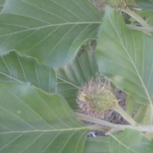 Photographie n°61989 du taxon Fagus sylvatica L.