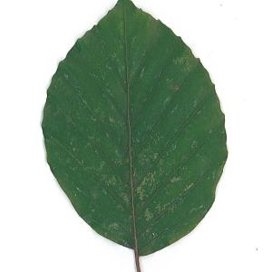 Photographie n°62087 du taxon Fagus sylvatica L.