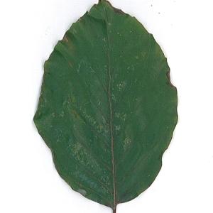 Photographie n°62088 du taxon Fagus sylvatica L.