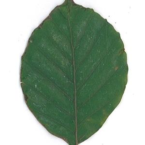 Photographie n°62089 du taxon Fagus sylvatica L.